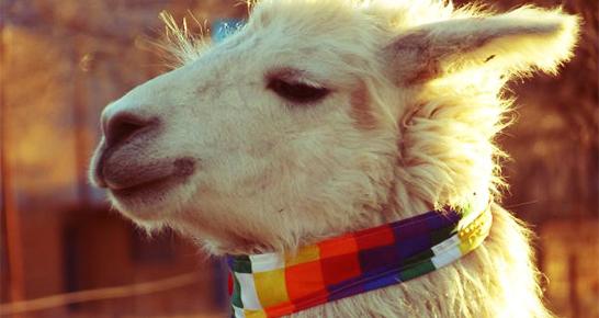 Alpaka Baby aus Peru
