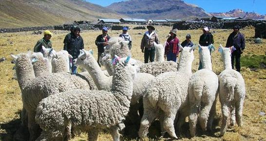Alpakas und Bauern in den Anden Bolivien